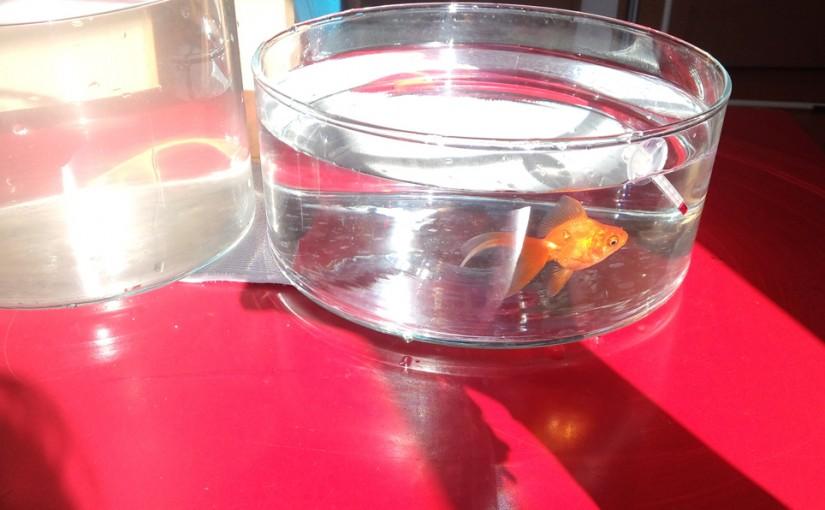 転覆気味の金魚、ココア餌5日目