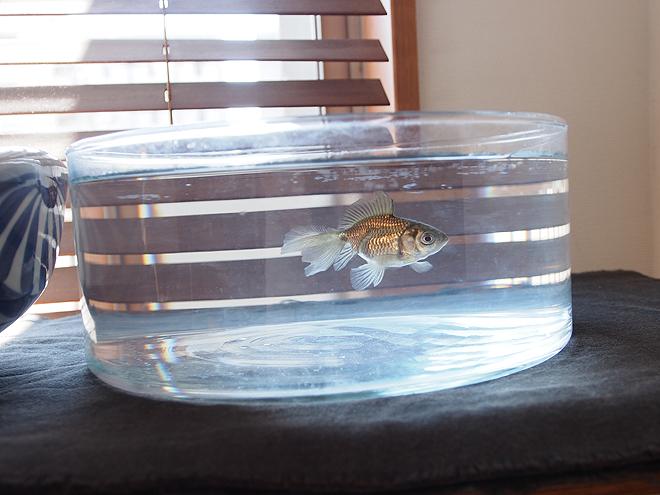 窓際の水鉢、黒い金魚