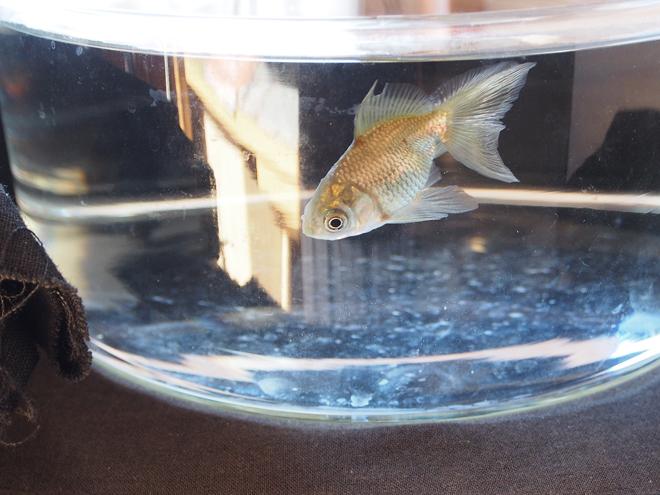 寒ければ浮く、金魚