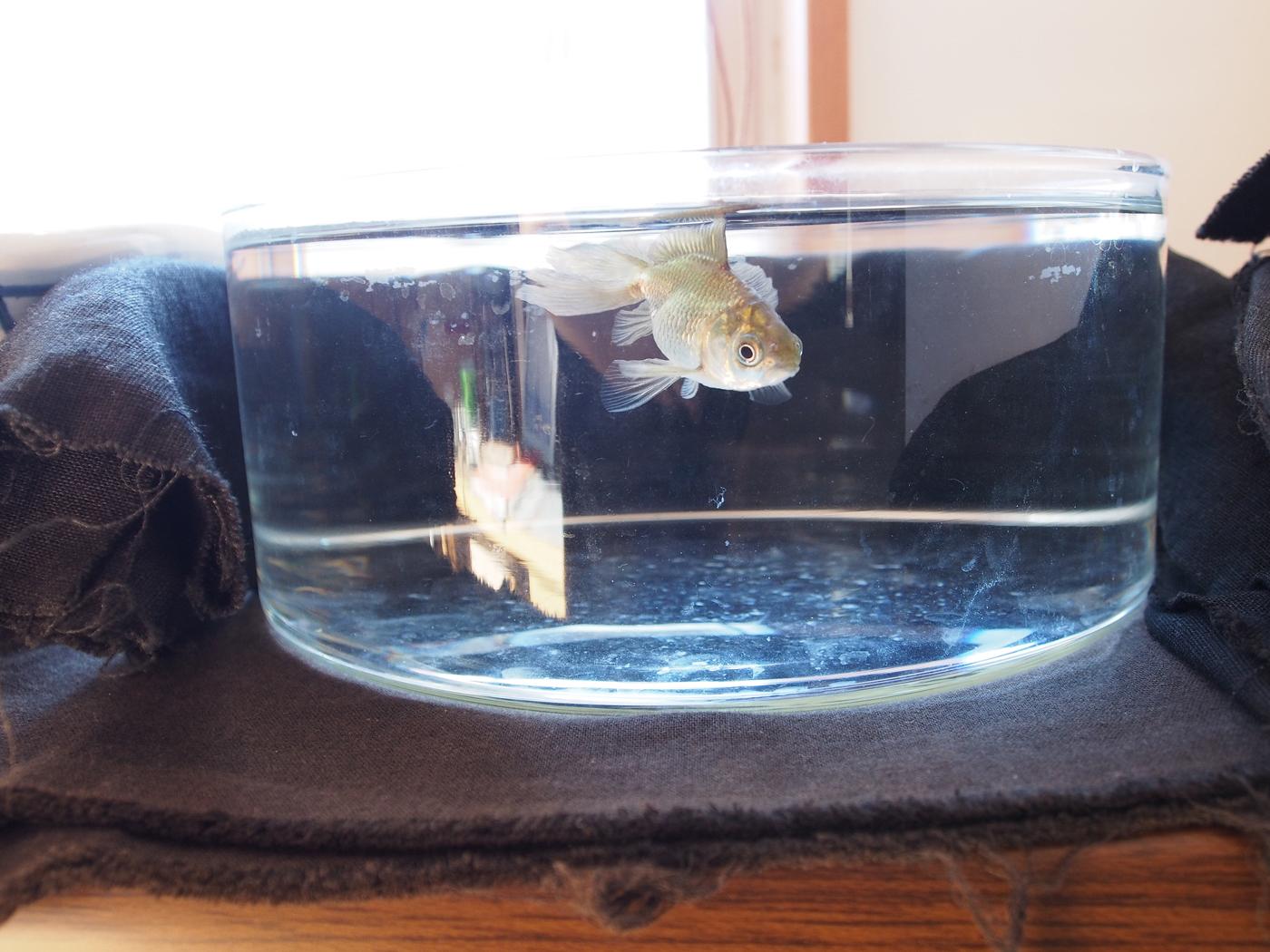 浮き気味のどんぶり金魚