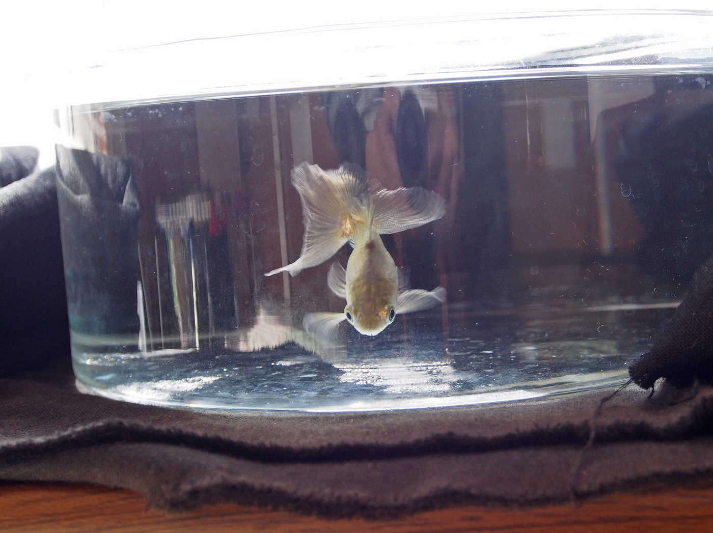 金魚(グレー)