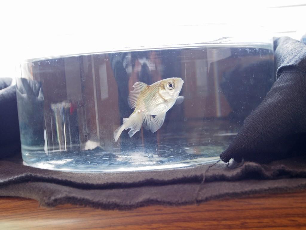 金魚(グレー)2