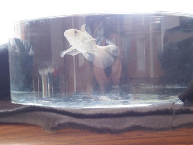 金魚(グレー)3