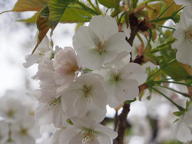 笹部桜、アップ