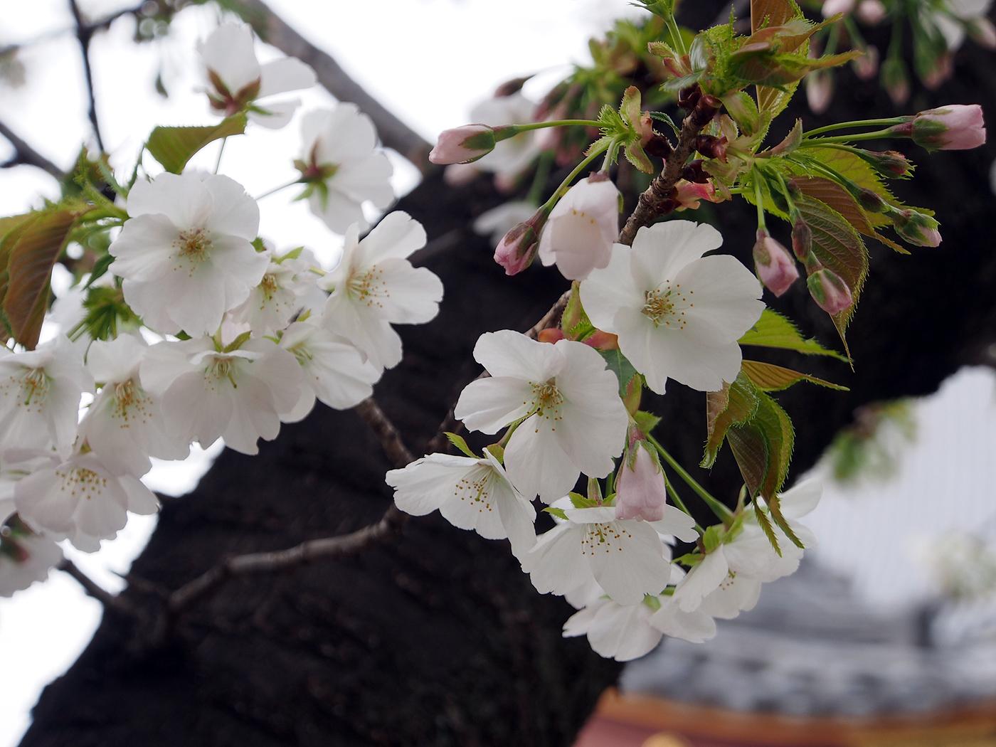 笹部桜、本門寺