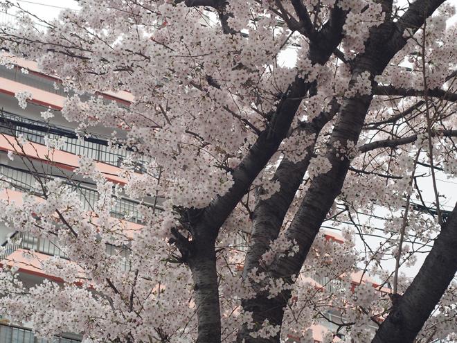 お寺さんの桜2