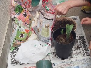 の 方 チュウリップ 植え チューリップの育て方!誰でもできる基本の植え方!