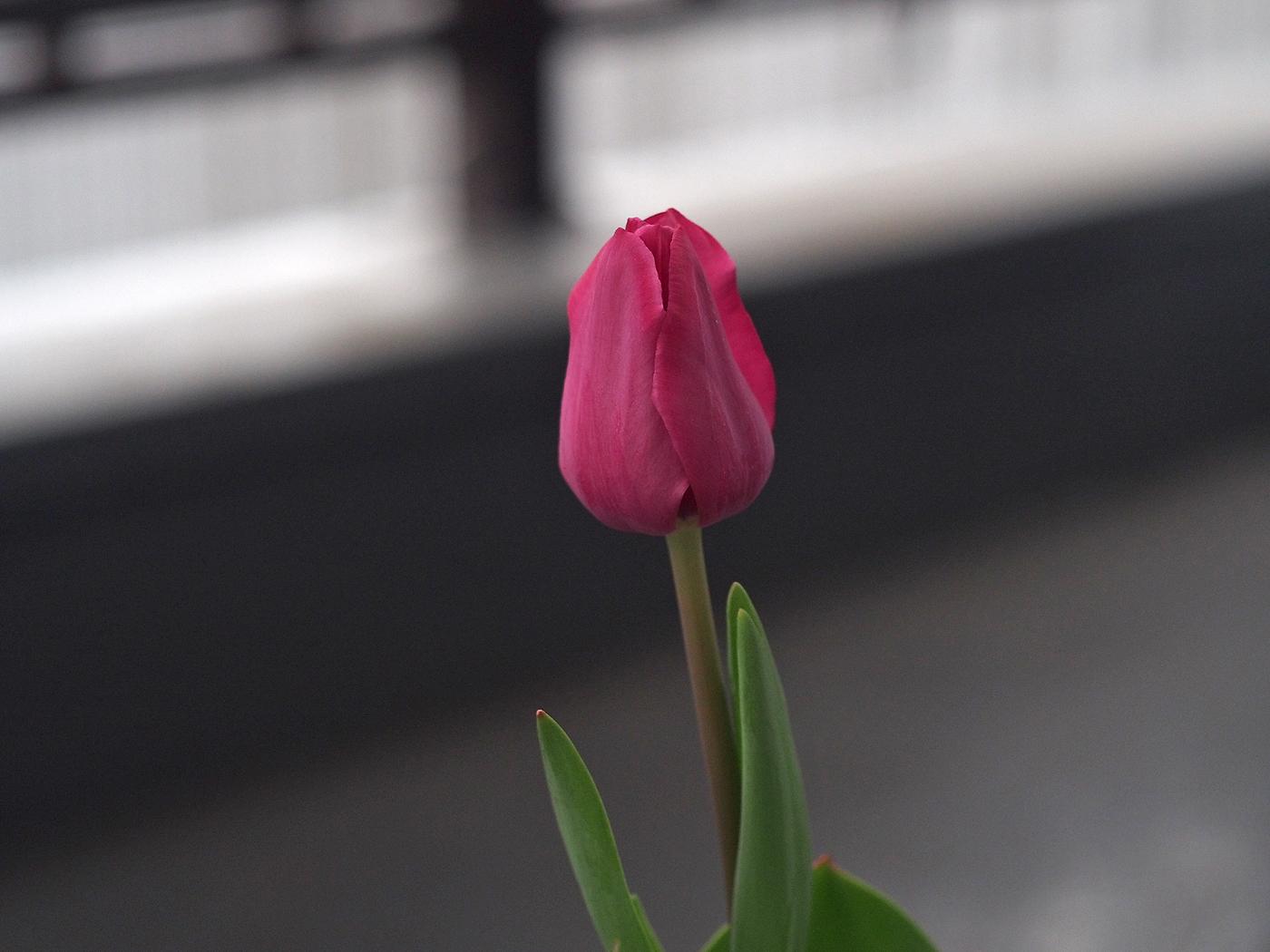 チューリップ、咲いて5日目