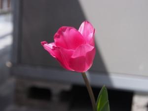チューリップ、咲いて7日目