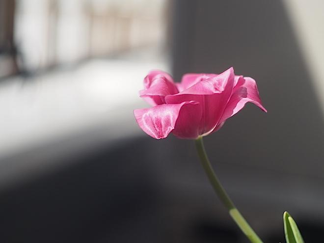 咲いて10日目