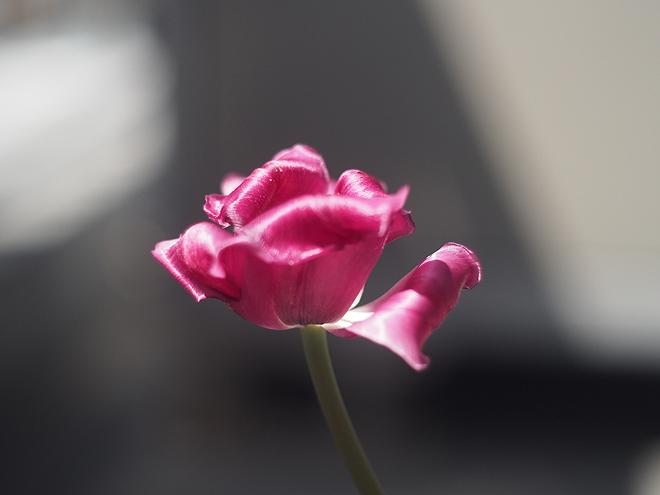 咲いて11日目、横から