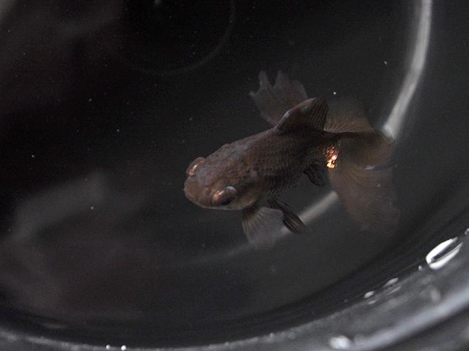 塩水浴中の金魚