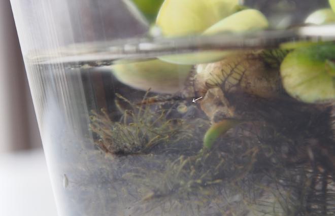 ホテイアオイの根に卵