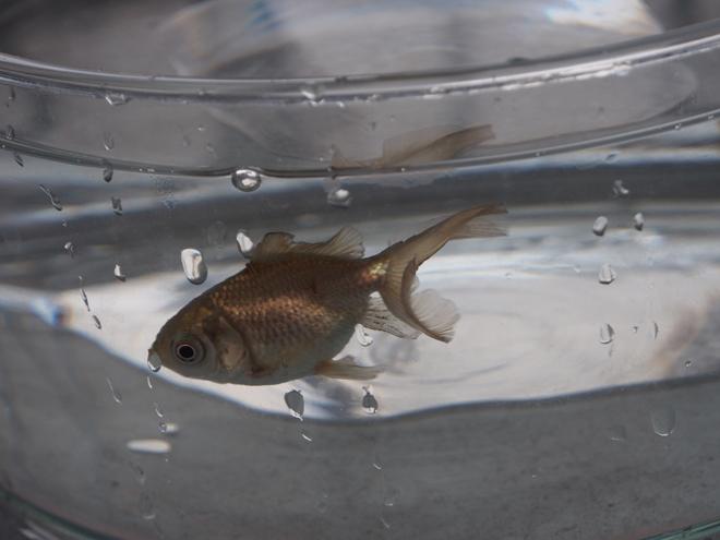 どんぶり金魚