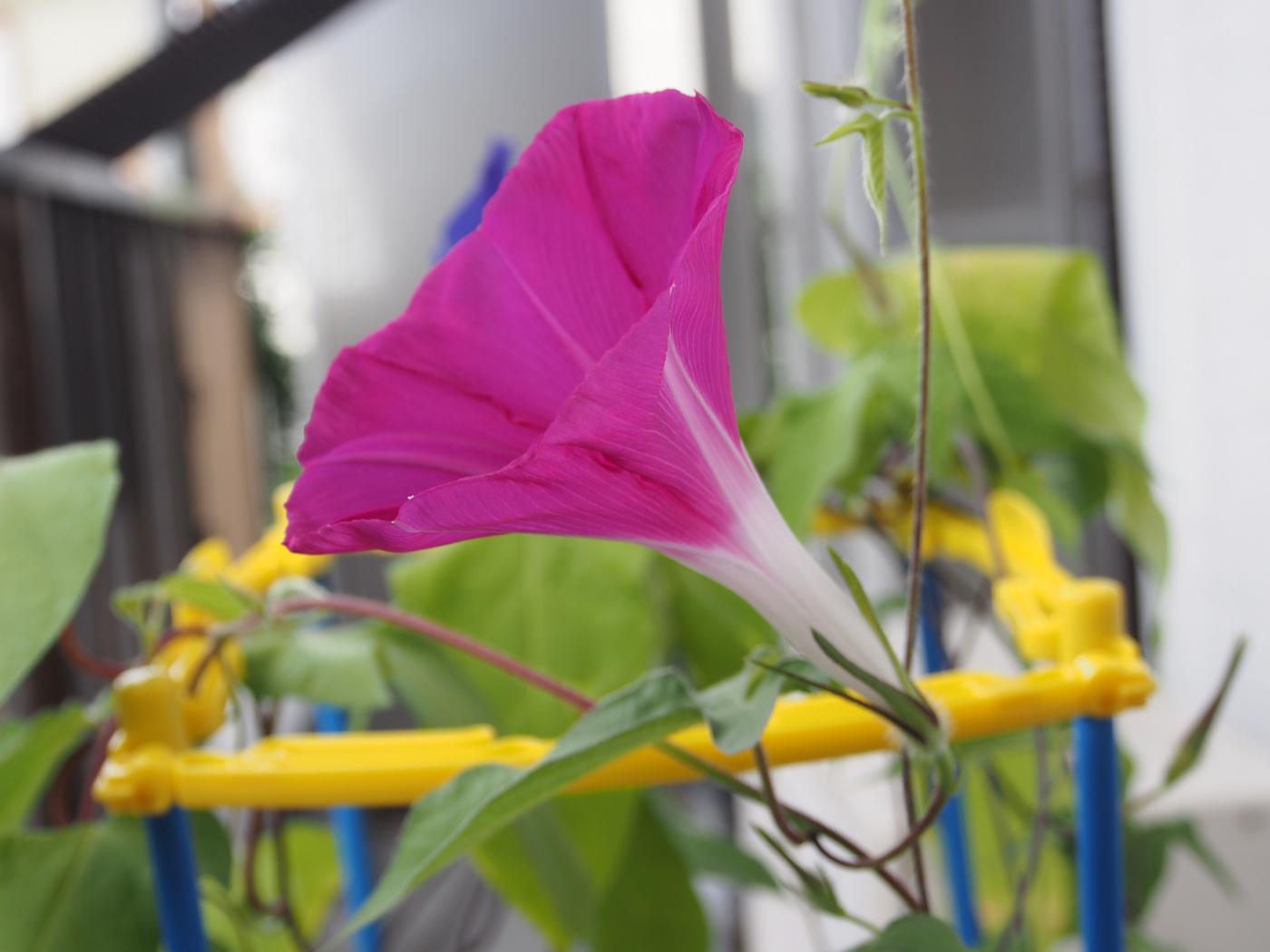 ピンクが咲いた