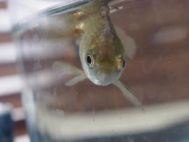 どんぶり金魚、グレー