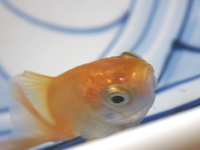 どんぶり金魚、素赤