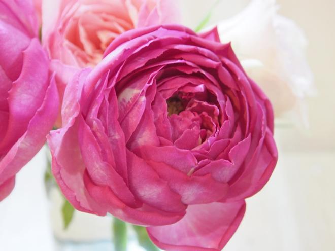 バラ、濃いピンク