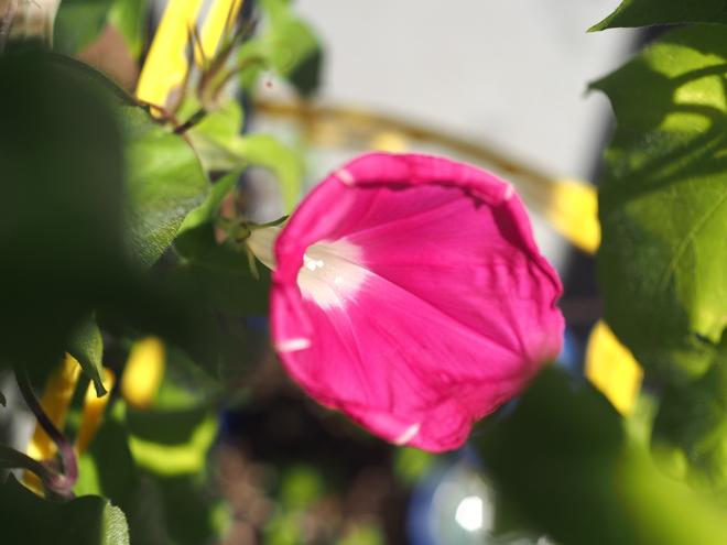 朝顔、ピンク2