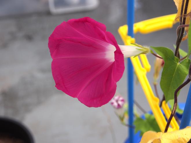 朝顔19,20、ピンク