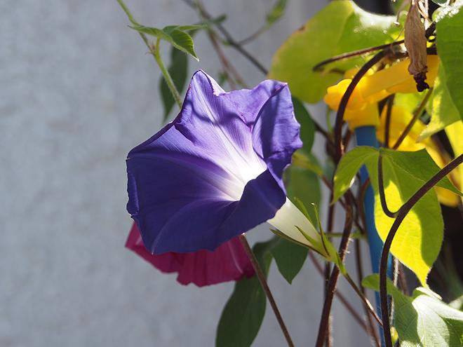 朝顔、27,28,29、青紫