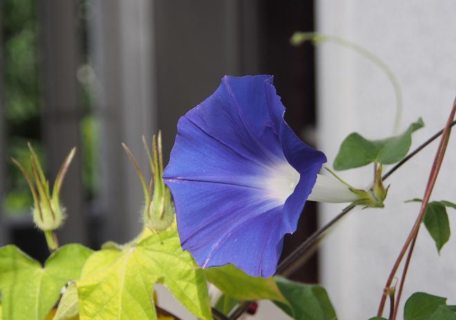 朝顔、30、31、青紫