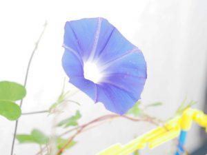 朝顔34,35,36,37青紫