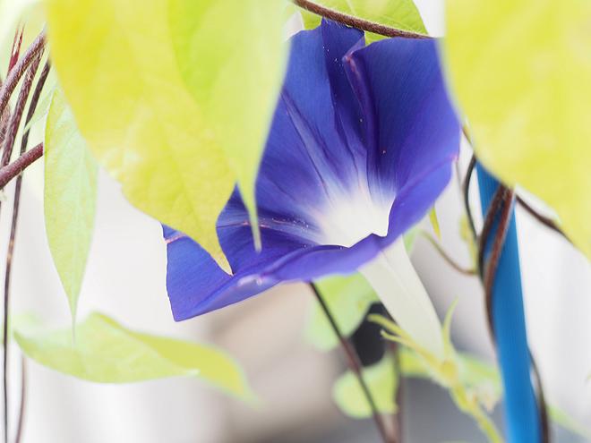 朝顔34,35,36,37青紫-2