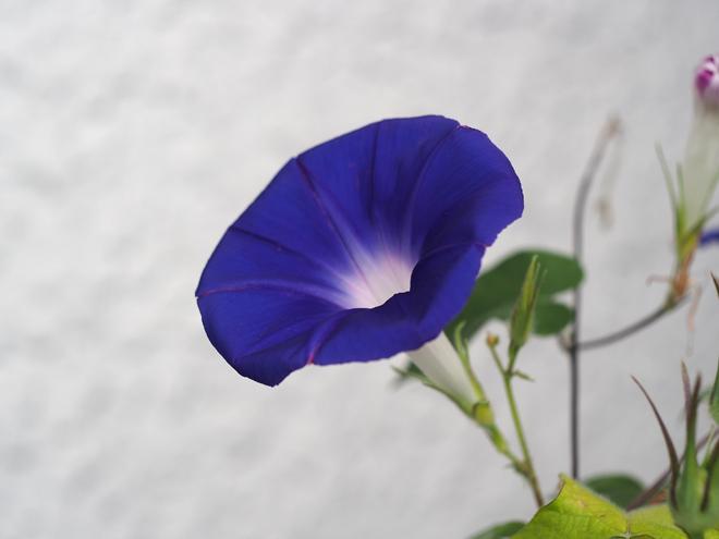 朝顔、38,39,40、青紫