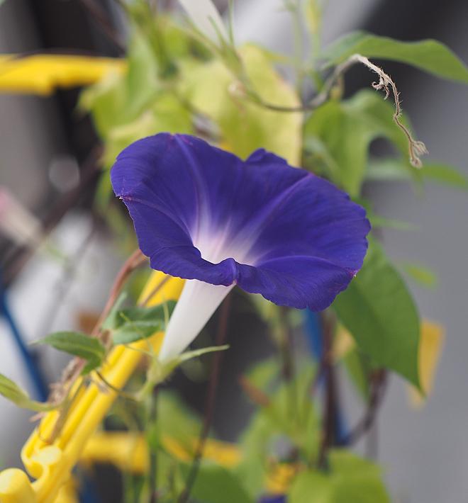 朝顔、38,39,40、青紫2
