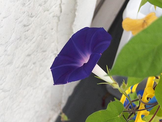 朝顔、43.44、青紫2