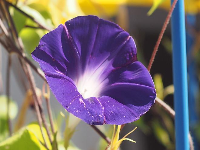 朝顔45、青紫