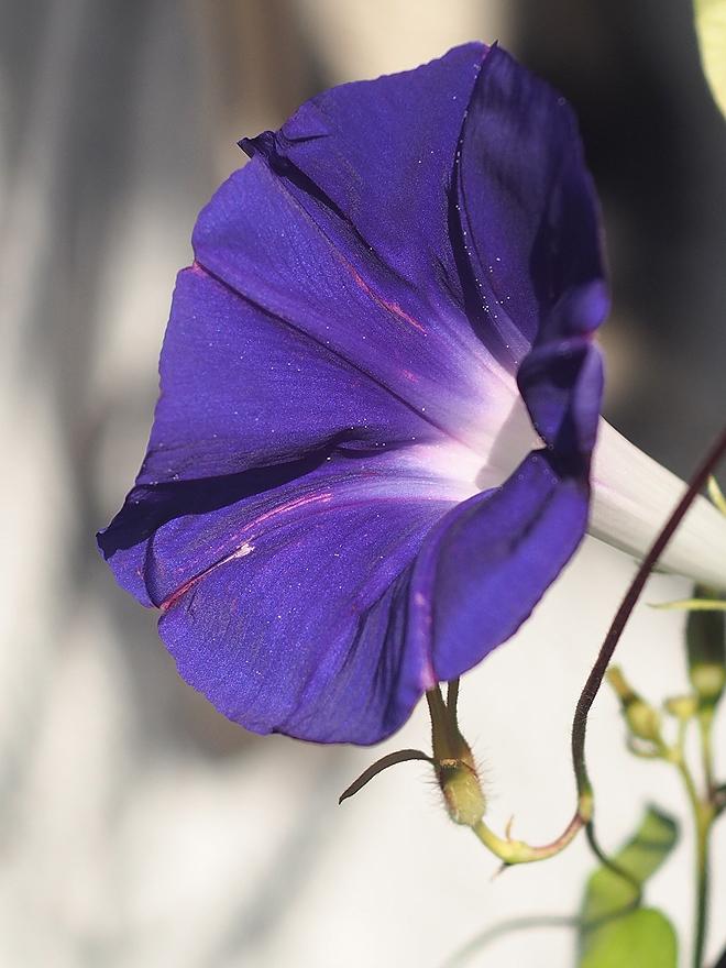 朝顔45、青紫2
