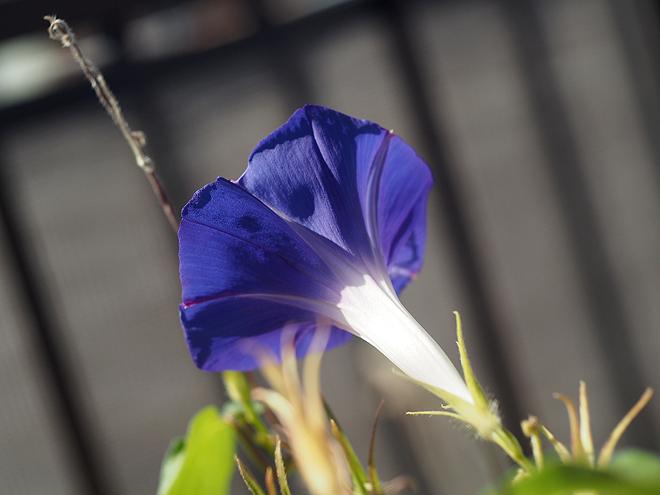 朝顔46,47、青紫、後ろから