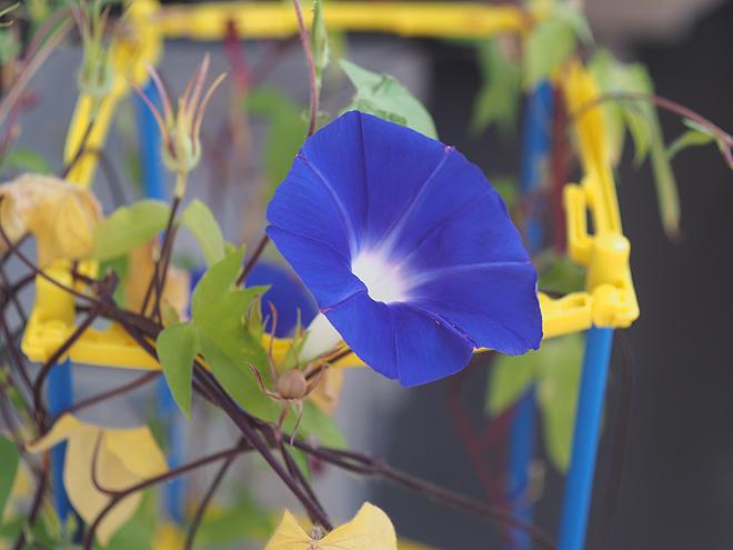 朝顔、48、49、青紫