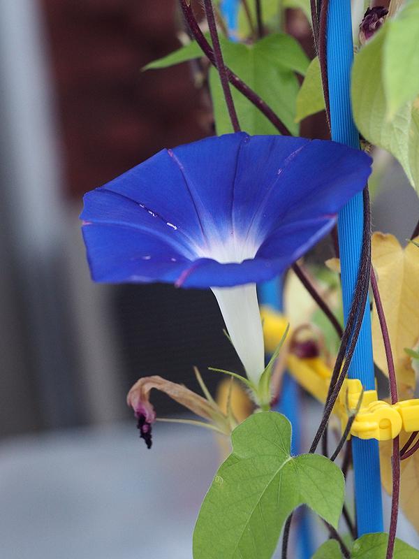 朝顔、50、51、52、青紫