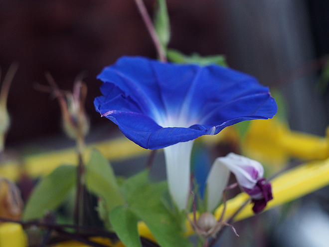 朝顔、50、51、52、青紫2