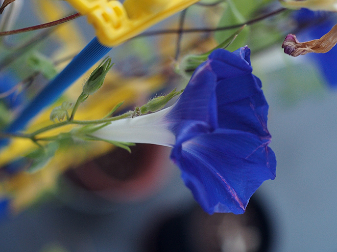 朝顔、50、51、52、青紫3
