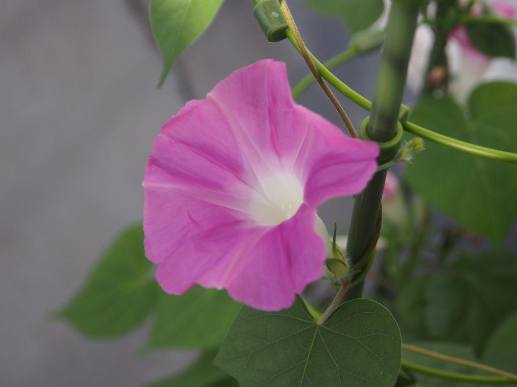 秋植え朝顔、花8、42日目
