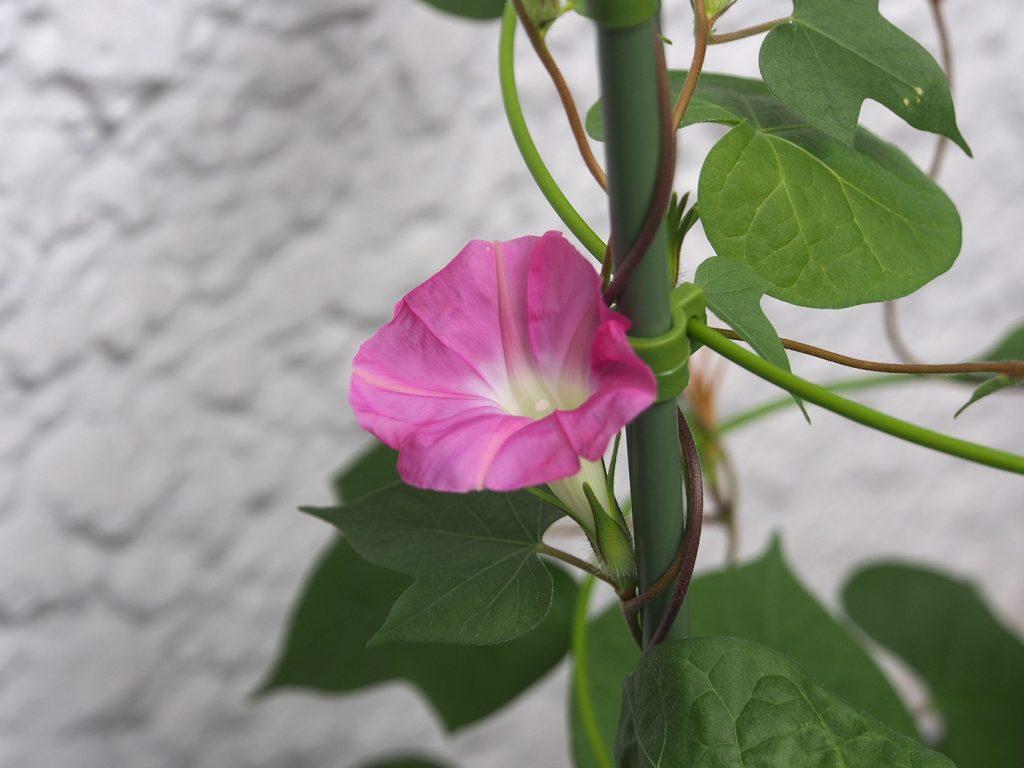 秋植え朝顔、花10、49日目
