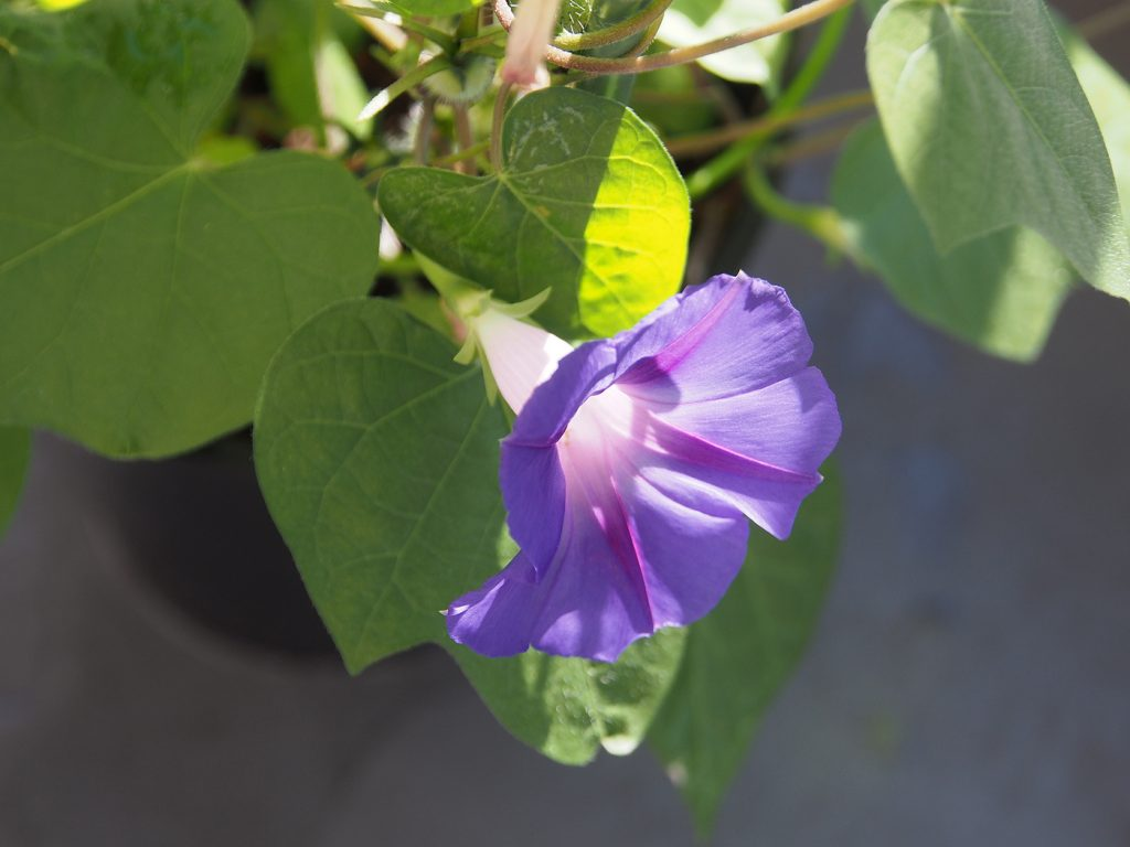 秋植え朝顔、花12、54日目