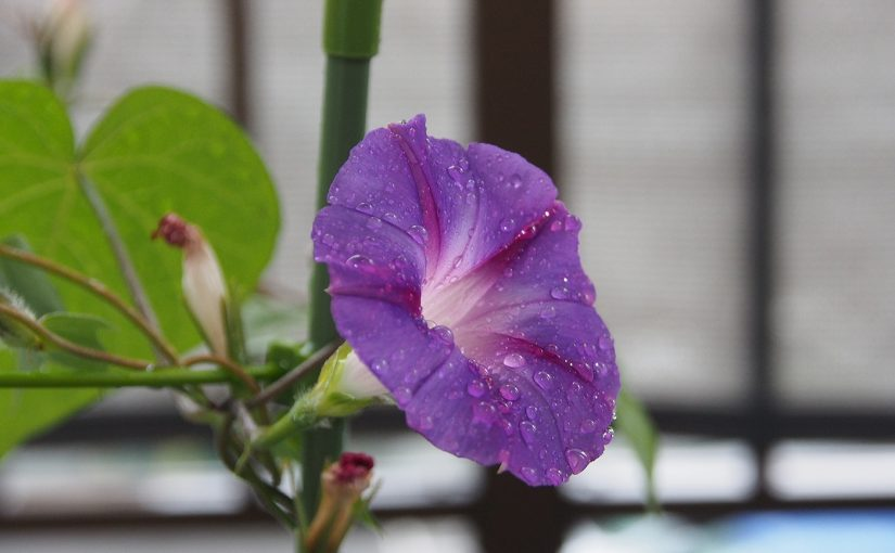 秋植え朝顔、花15、61日目