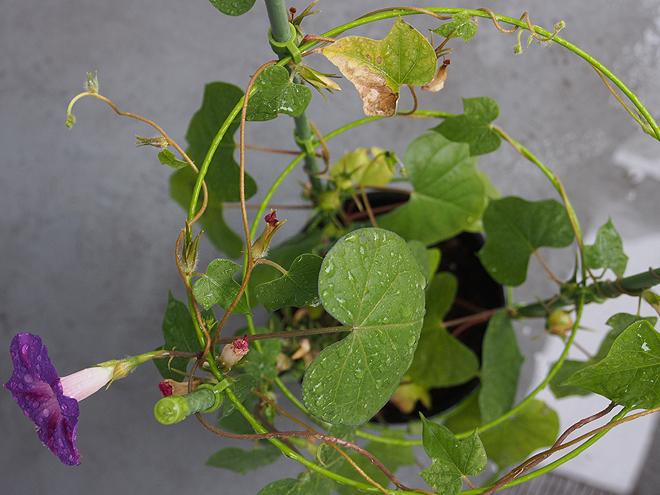 秋植え朝顔、上から、61日目