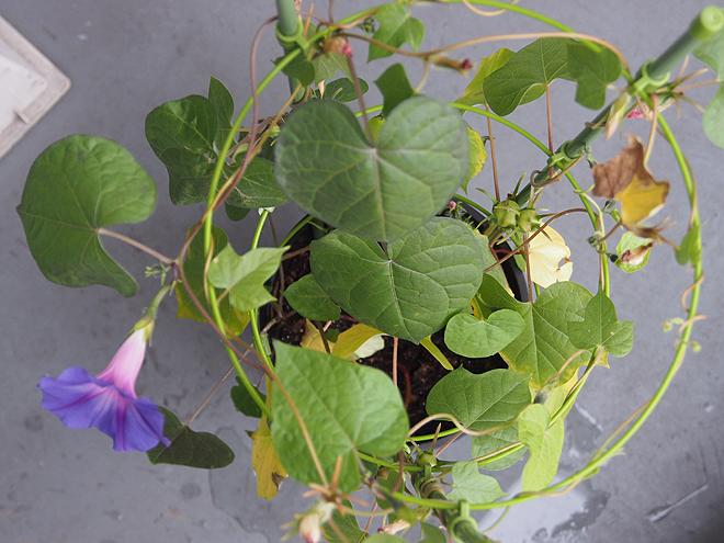 秋植え朝顔、上から、64日目