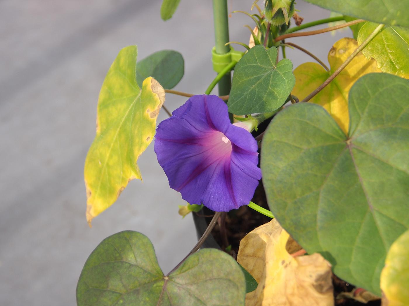 秋植え朝顔、花17、67日目