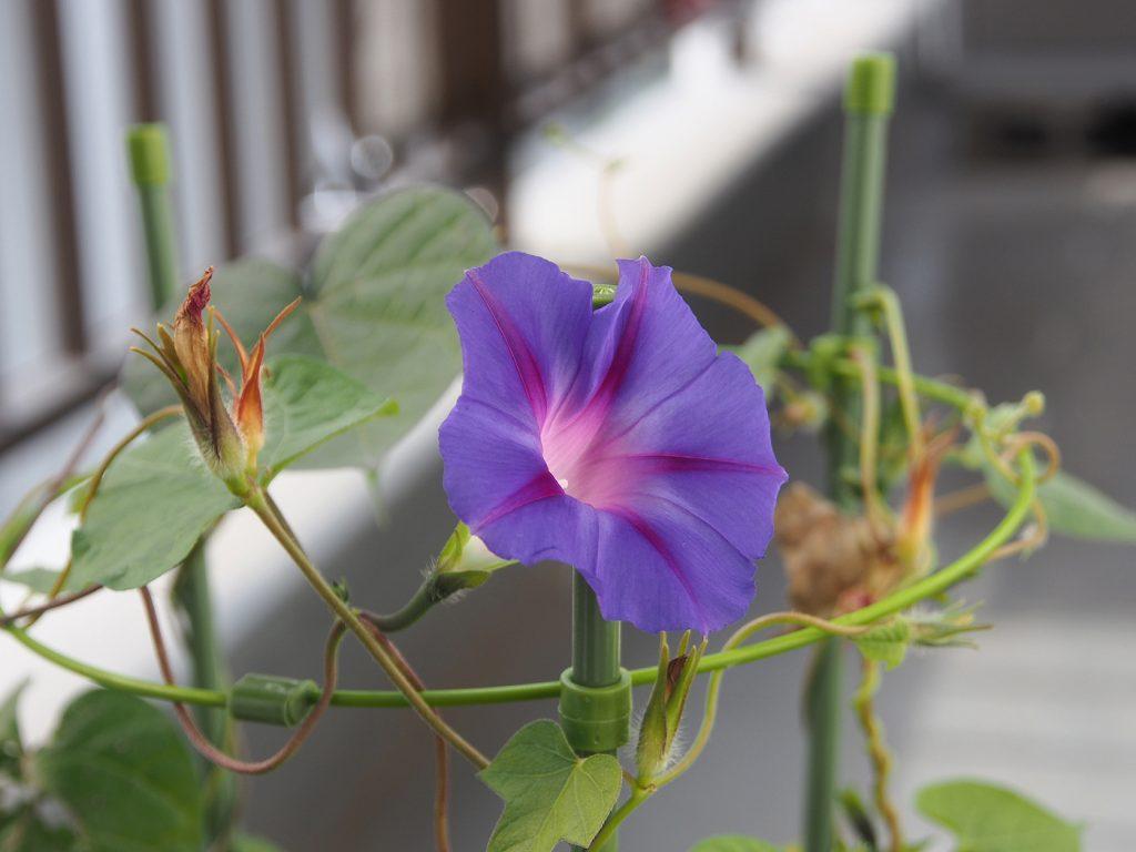 秋植え朝顔、花18、68日目