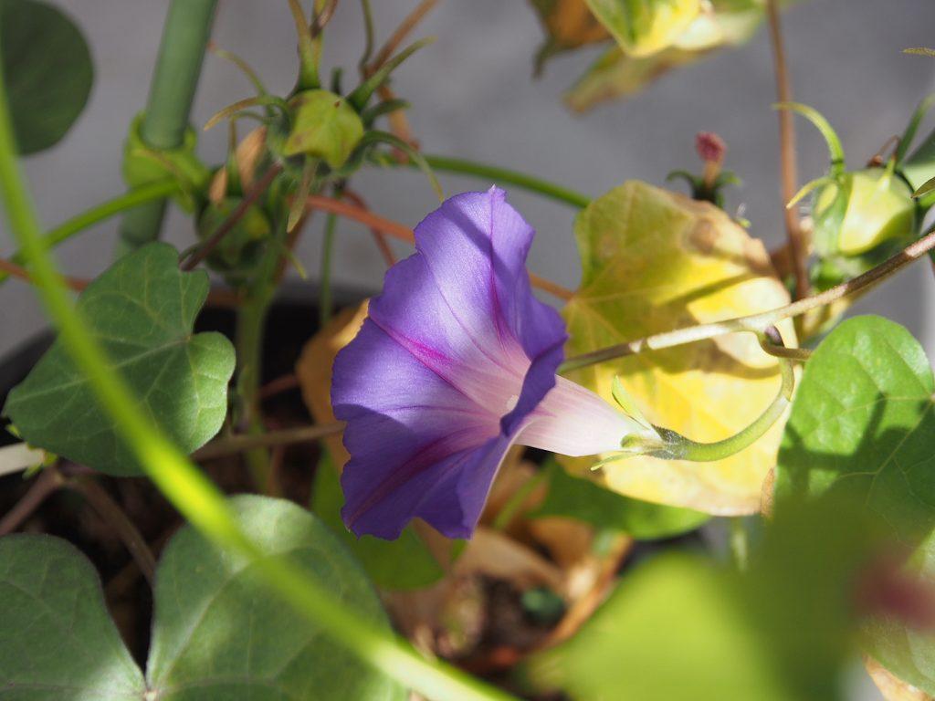 秋植え朝顔、花19、70日目