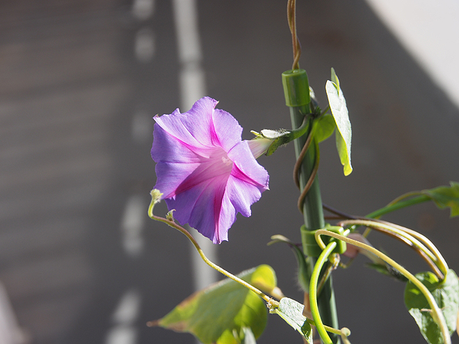 秋植え朝顔、花25-2、88日目