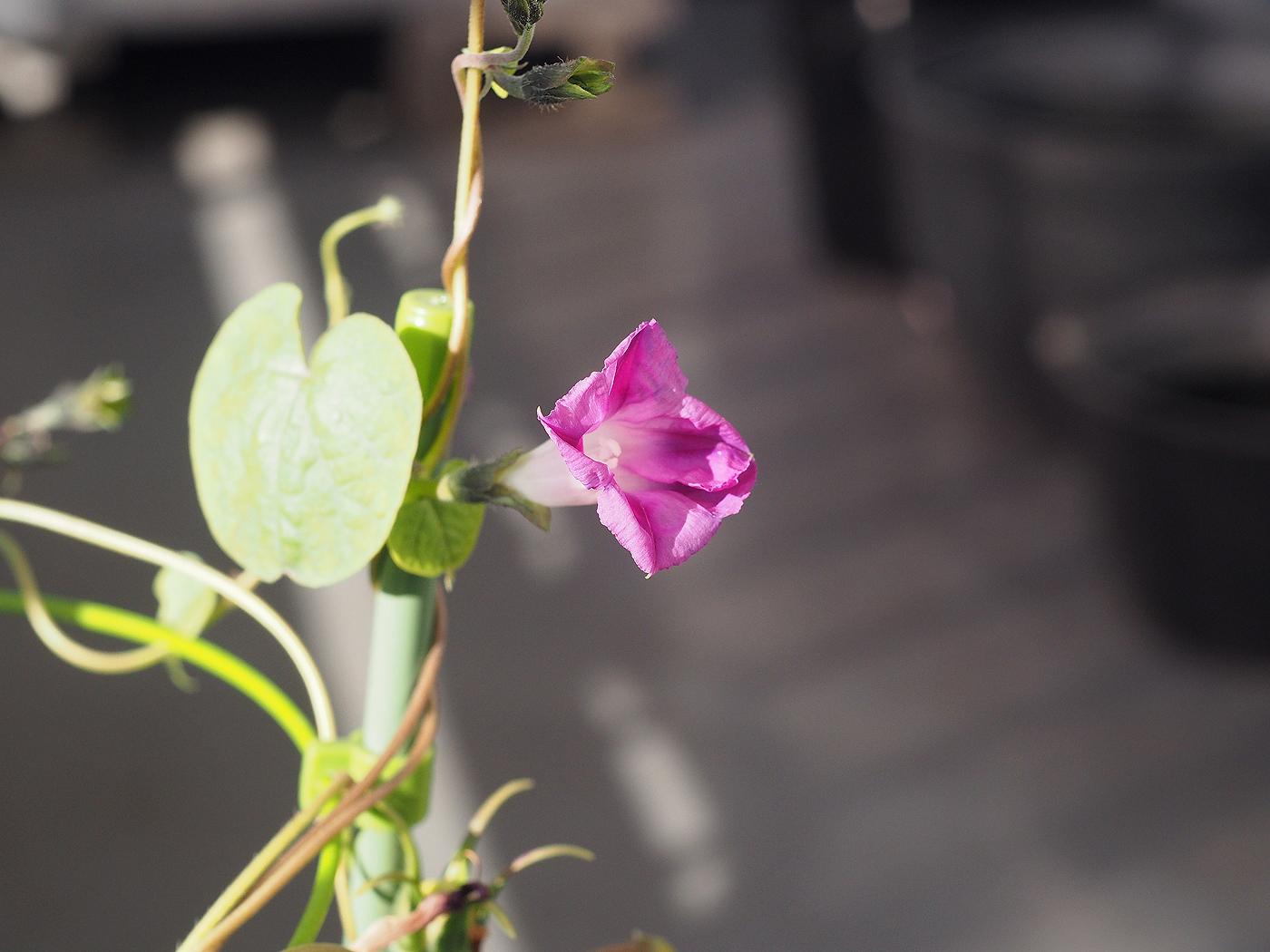 秋植え朝顔、花26、92日目