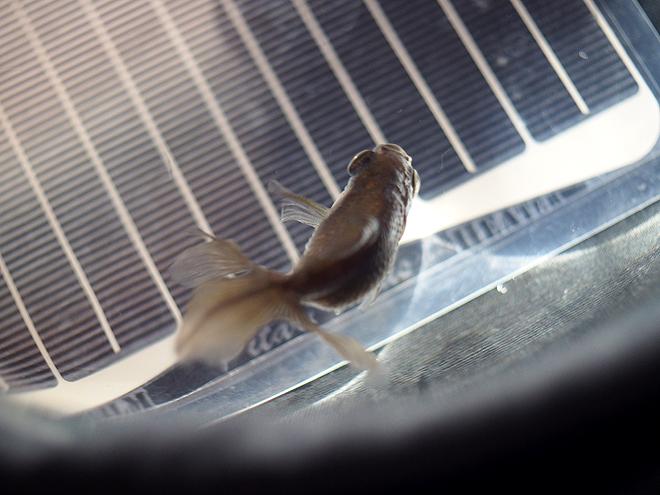 マット式ヒーター、どんぶり金魚5